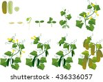 Cucumber Plant Growth Cycle