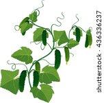 cucumbers growing on vines | Shutterstock .eps vector #436336237