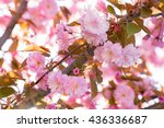 Pink Flowers Of Cherry Or...