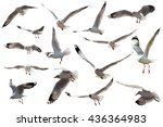 seagull flying on white... | Shutterstock . vector #436364983
