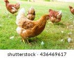 Free Range Chicken On An...