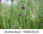 Small photo of Flower of a sand leek or rocambole (Allium scorodoprasum), a wild onion species in Europe.