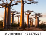 baobab alley in the evening ... | Shutterstock . vector #436875217