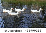 Four Ducks Are Swimming In The...