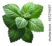 fresh peppermint leaves  mentha ... | Shutterstock . vector #437274457