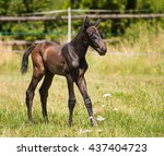 one day old foal of sport horse ... | Shutterstock . vector #437404723
