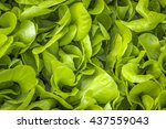 Salad Leaf On A Bed Close Up A...