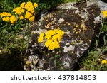 Small photo of Yellow flowers of the achillea tomentosa yarrow