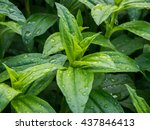 Beautiful Green Hosta After Th...