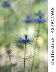 Small photo of Beautiful blooming love-in-a-mist in a sunny spring garden