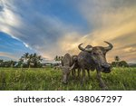 buffalo in rice field. evening... | Shutterstock . vector #438067297