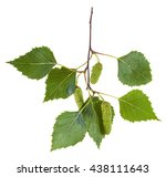 Branch Of Birch Tree  Betula...