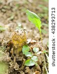 Small photo of Delicious Amanita Rubescens The Blusher on a round cap closeup