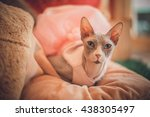 sphinx cat appears hairless... | Shutterstock . vector #438305497
