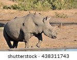 Small photo of Lone African white rhinoceros moving away from the waterhole after drinking and accompanied by an accompaniment of Red-billed Oxpeckers.