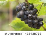 grape vine | Shutterstock . vector #438438793