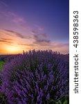 lavender flowers blooming field ... | Shutterstock . vector #438598363