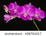 Beautiful Pink Orchid On Black...