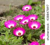 Close Up Of Pink Ice Plants In...
