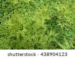 Small photo of adiantum pedatum, northern maidenhair fern