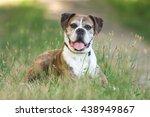 Old Boxer Dog In The Grassy...