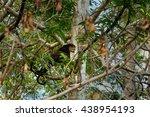 Small photo of Bear Cuscus (Ailurops ursinus) in tree. Tangkoko National Park. Sulawesi. Indonesia