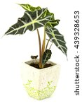 Small photo of Alocasia. Isolated flower in pot.