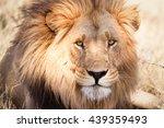 African Lion In Savannah In...
