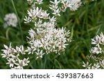 Small photo of White Allium (Allium ramosum) in a garden in Goettingen, Germany