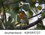 robin red breast  erithacus... | Shutterstock . vector #439395727