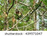 Small photo of Bear Cuscus (Ailurops ursinus) in tree. Tangkoko National Park. Sulawesi. Indonesia