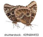 Blue Morpho Butterflies Mating...