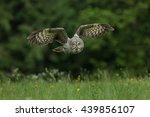 Great Grey Owl Srix Nebulosa