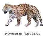 The Adult Male Jaguar Walking ...