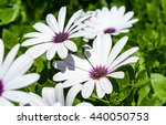 White Osteospermum Flowers....