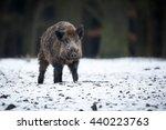 Wild Boar  Sus Scrofa  Forest...