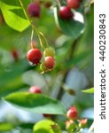Small photo of Red fruits of Amelanchier canadensis (June-berry in japanese)