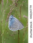 Small photo of Amanda's Blue butterfly (Polyommatus amandus)