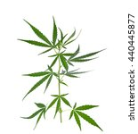 marijuana plant isolated on... | Shutterstock . vector #440445877