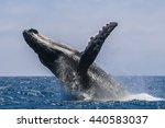 humpback whale jumping in... | Shutterstock . vector #440583037