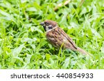 Sparrow  Passeridae