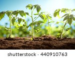 young tomato plants in the... | Shutterstock . vector #440910763