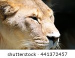 Lioness Profile   Close Up