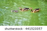 Ducks Swimming In Lake With...