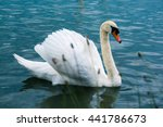 Swan With Pride Swimming In A...