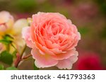 Stock photo close up natural beautiful roses flower in the garden selective focus 441793363