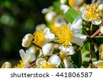 Small photo of Group beautiful white flowers with yellow carpel on the tree of Calophyllum inophyllum or Alexandrian Laurel