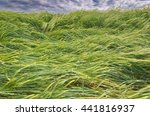 Agricultural Field  Which Grow...