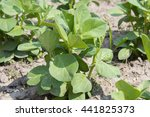 Young Pea Plant