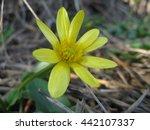 ranunculus blossoms in spring...   Shutterstock . vector #442107337